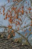 Persimonträd Royaltyfri Fotografi