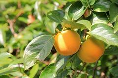 Persimonträd med frukt Arkivfoto