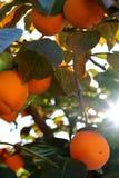Persimonträd med mogna orange frukter i höstträdgården royaltyfria bilder