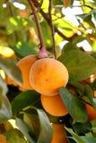 Persimonträd med mogna orange frukter i höstträdgården royaltyfri foto