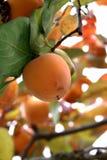 Persimonträd med mogna orange frukter i höstträdgården royaltyfri bild