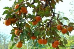 Persimonträd med mogna orange frukter i höstträdgården arkivbild