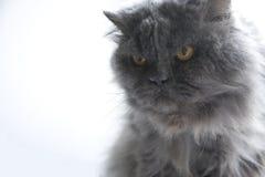 Persische blaue Katze Lizenzfreies Stockfoto