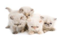 Persische Brut von vier Kätzchen stockbild