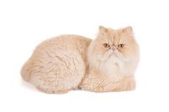 Persische cremefarbene Katze auf einem weißen Hintergrund stockfotos