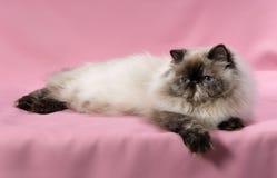 Persische Dichtung tortie colorpoint Katze Stockfoto