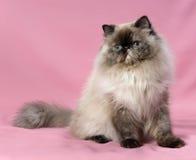 Persische Dichtung tortie colorpoint Katze Stockfotografie