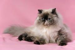 Persische Dichtung tortie colorpoint Katze Lizenzfreies Stockbild