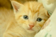 Persische Kätzchen Brown stockbilder