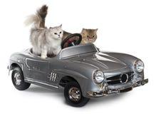 Persische Katze, 1 Einjahres- und norwegischer Wald Stockfotografie