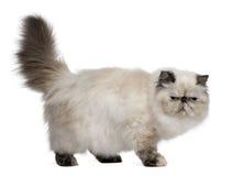 Persische Katze, 2 Jahre alt, Stellung stockbilder