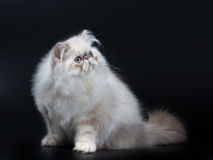 persische Katze Stockfoto