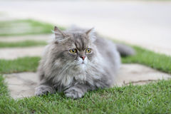 persische Katze Lizenzfreie Stockfotografie