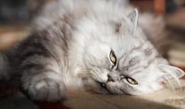 persische Katze Stockfotografie