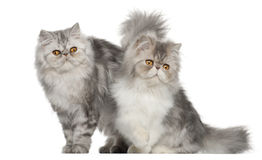 Persische Katze, 7 Monate alte, Stockfotografie