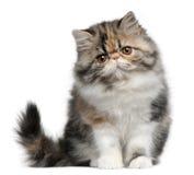Persische Katze, 8 Monate alte, sitzend Stockfoto