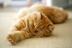 persische Katze Stockbild