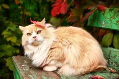 Persische Katze auf dem Herbsthintergrund Lizenzfreies Stockbild