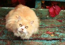 Persische Katze auf dem Herbsthintergrund Stockbilder