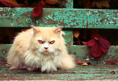 Persische Katze auf dem Herbsthintergrund Lizenzfreie Stockfotografie