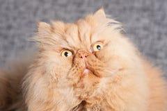 Persische Katze auf dem Trainer Lizenzfreie Stockfotos