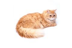 Persische Katze auf einem weißen Hintergrund lizenzfreie stockfotografie