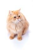 Persische Katze auf einem weißen Hintergrund lizenzfreie stockbilder
