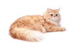 Persische Katze auf einem weißen Hintergrund stockbild