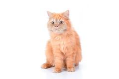 Persische Katze auf einem weißen Hintergrund stockbilder