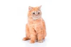 Persische Katze auf einem weißen Hintergrund stockfoto