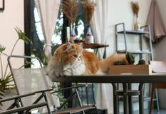 Persische Katze Browns sitzen auf dem Tisch in der Kaffeestube Lizenzfreie Stockbilder