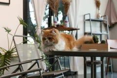 Persische Katze Browns sitzen auf dem Tisch in einer Kaffeestube Lizenzfreie Stockbilder