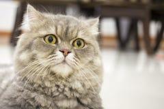 Persische Katze der Nahaufnahme Stockfotos