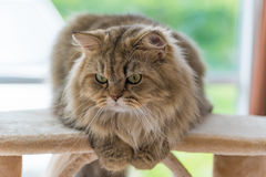 Persische Katze der netten braunen getigerten Katze Stockfotos
