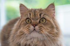Persische Katze der netten braunen getigerten Katze Lizenzfreie Stockfotos