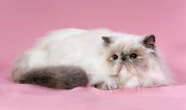 Persische Katze des blauen Punktes Lizenzfreie Stockfotografie
