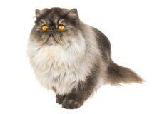 Persische Katze des schwarzen Rauches auf weißem Hintergrund Stockfotos