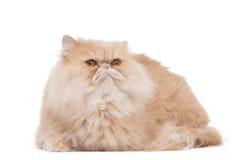 Persische Katze, die auf dem weißen Hintergrund sitzt lizenzfreie stockbilder