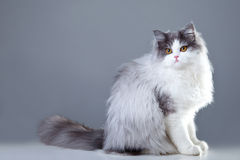 Persische Katze, die auf grauem Hintergrund sitzt Lizenzfreies Stockbild