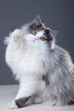 Persische Katze, die auf grauem Hintergrund spielt Lizenzfreie Stockfotos
