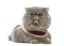Persische Katze, die ein Schottenstoffgeschirr, Lügen, weg schauend trägt Stockfoto