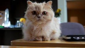 Persische Katze, die mit Leuten spielt stock footage