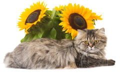 Persische Katze, die mit Sonnenblumen liegt Stockfoto