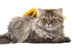 Persische Katze, die mit Sonnenblumen liegt Stockfotos