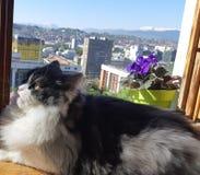 Persische Katze Löwe Lizenzfreies Stockbild