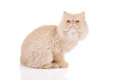 Persische Katze mit dem kurzen Haar auf einem weißen Hintergrund stockfotografie