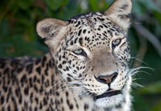 Persischer Leopard stockbild