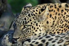 Persischer Leopard stockfotografie