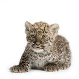 Persischer Leopard Cub (2 Monate) lizenzfreies stockbild