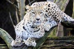 Persischer Leopard des Porträts, Panthera pardus saxicolor, das auf einer Niederlassung sitzt Stockfotos